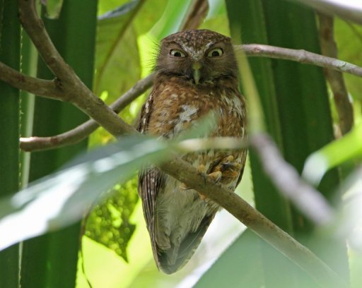 One of the 10 new species of owl Ninox Spilocephala found on the southern Philippne island of Mindanao | View photo - Yahoo! News
